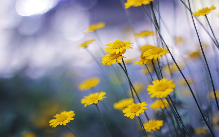 Chamomile flowers on the misty meadow, abstract natural background