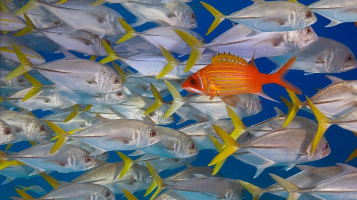 Longjaw squirrelfish swims against school of horse-eye jacks, Lighthouse Reef, Belize
