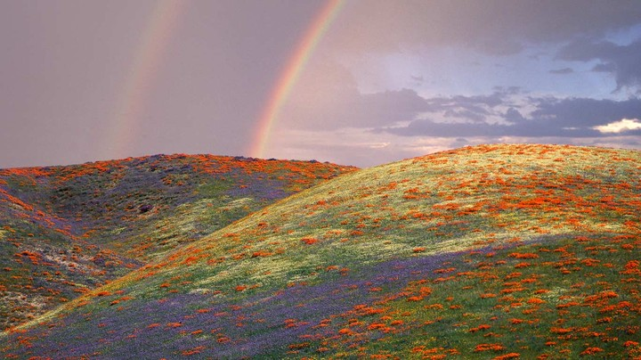 Poppies and lupine in Los Angeles County, California