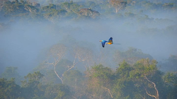 Blue-and-yellow macaws flying over the Amazon rainforest in Brazil