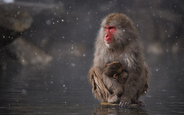 Monkey Mother And Son In Winter