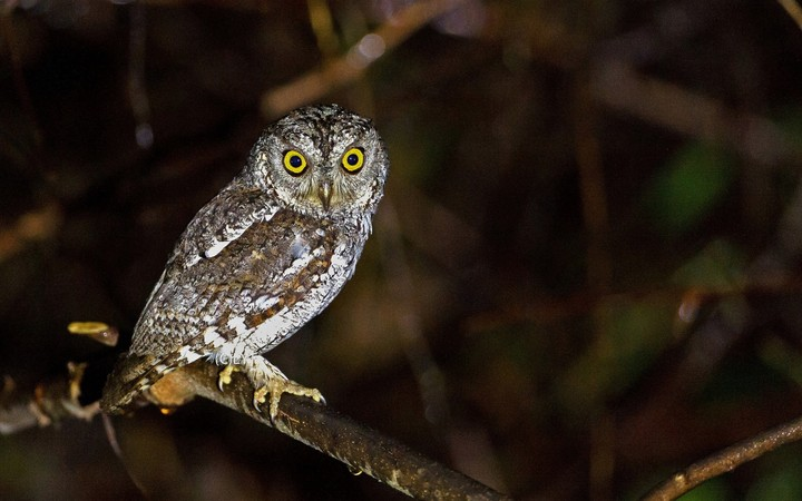 Owl Bird Sitting At Night Forest