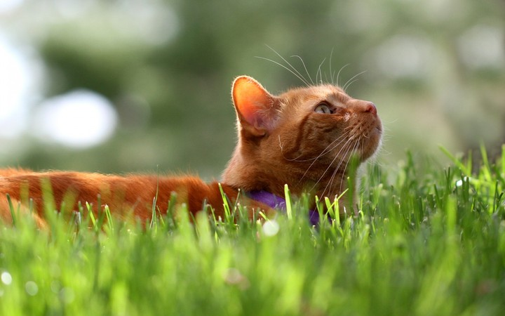 the summer background with orange cat lying in the grass
