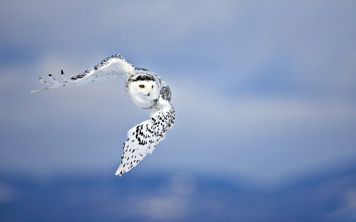 A Snowy Owl (Bubo scandiacus) flying right at the camera