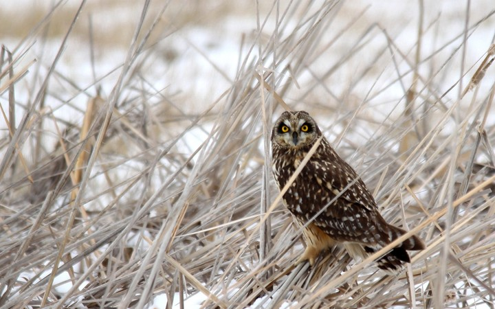 owl in the grass at winter