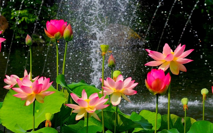 Pink lotus flowers water wallpaper by hoantube2014 revelwallpapers pink lotus flowers water mightylinksfo