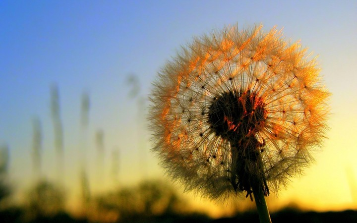 Pretty Dandelion At Sunset
