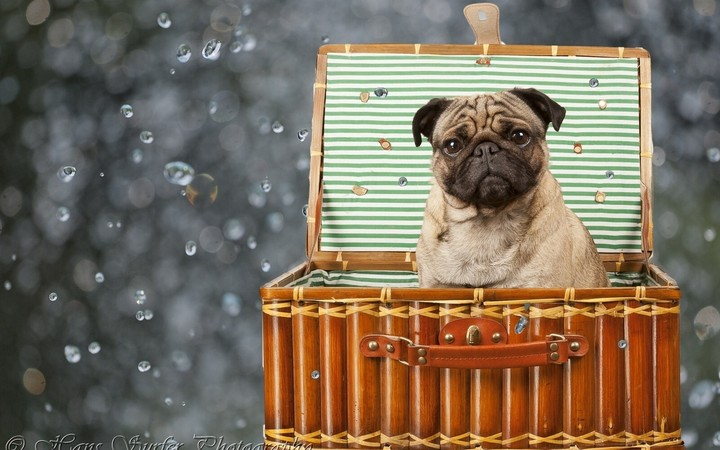 Bulldog sits in basket on water background