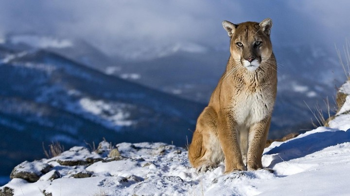 Puma In Winter Mountain
