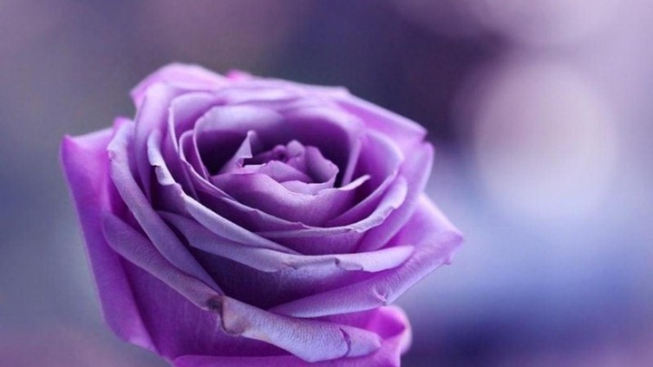 Purple Roses Background High Quality