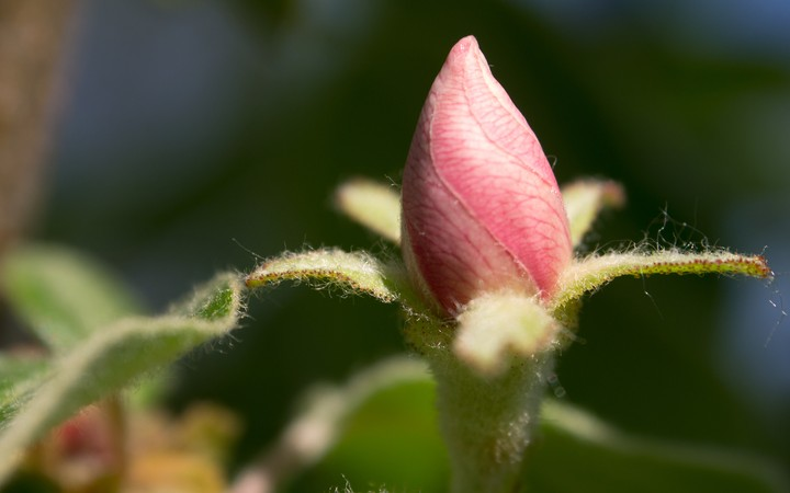 Quince Flower Bud