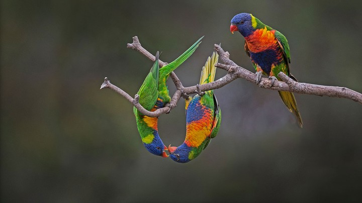 Rainbow lorikeets in Werribee, Australia