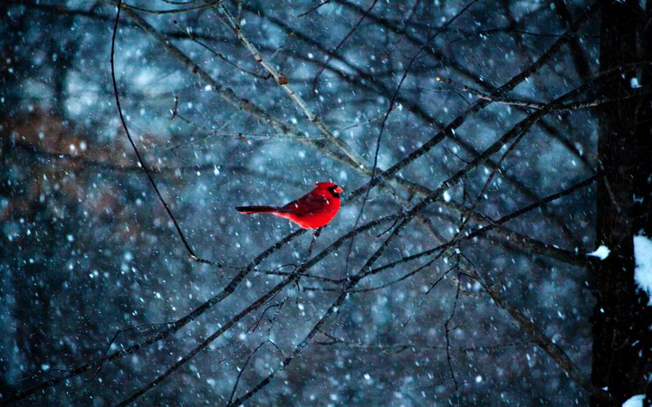 Red bird in snowflakes wallpaper by ladygaga - Winter cardinal background ...