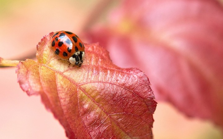 Ladybug in Red Leaf