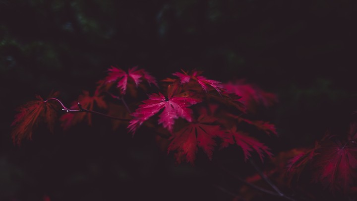 Red Leaves 4k