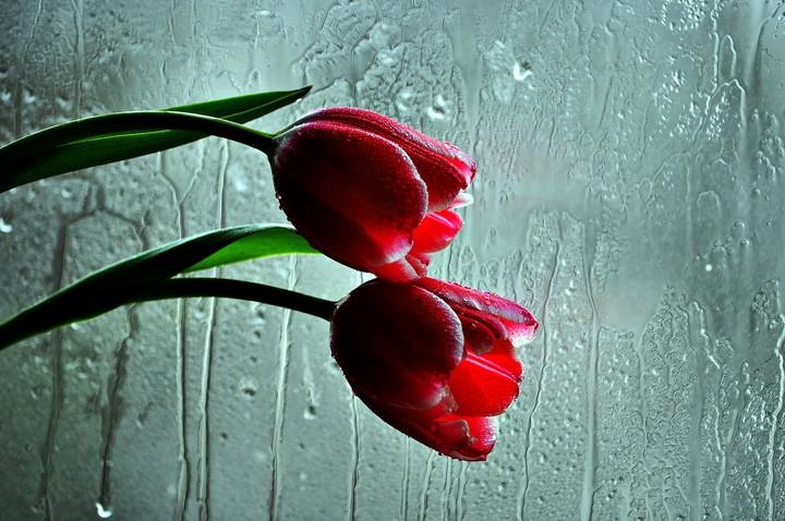 Red Tulips Rain Flower Wallpaper By Depzai