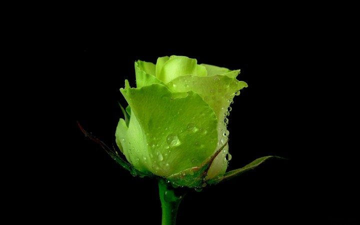 A Single Green Rose With Water Drops On Black Background