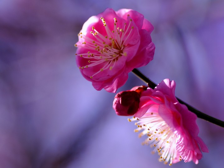 Sakura Flower In Spring