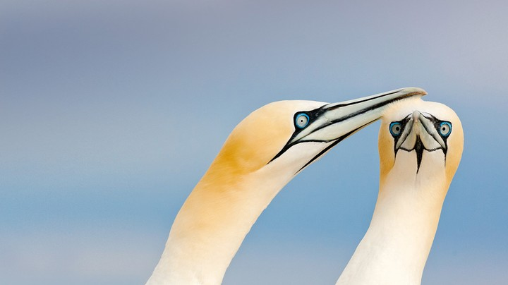 Northern gannets on the Saltee Islands, Ireland