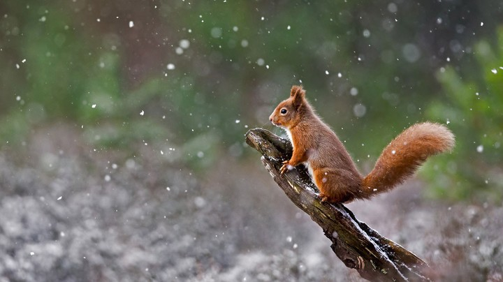 Eurasian red squirrel in Cairngorms National Park, Scotland