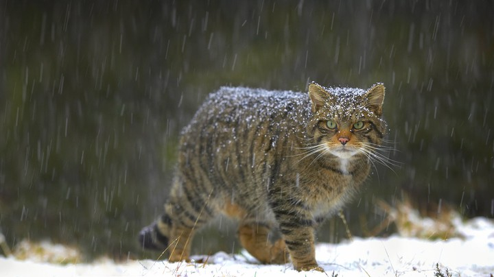 cat walking in snowy forest