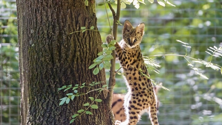 serval-kitten-cat-cub-wood
