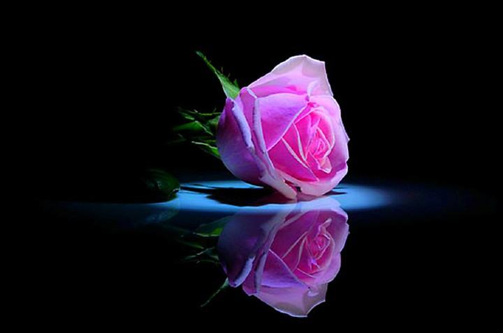 single pink rose wallpaper by elirogers revelwallpapers net