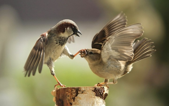 Sparrow Couple Fighting Bird