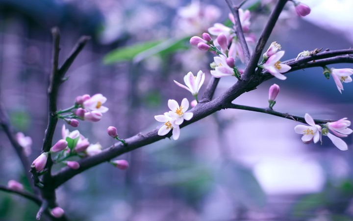 Flowering Branch Of Cherry Close Up In Soft Focus Pink Blossom