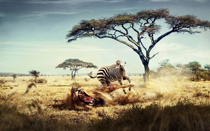 The Zebra Battle Lion Creative Picture