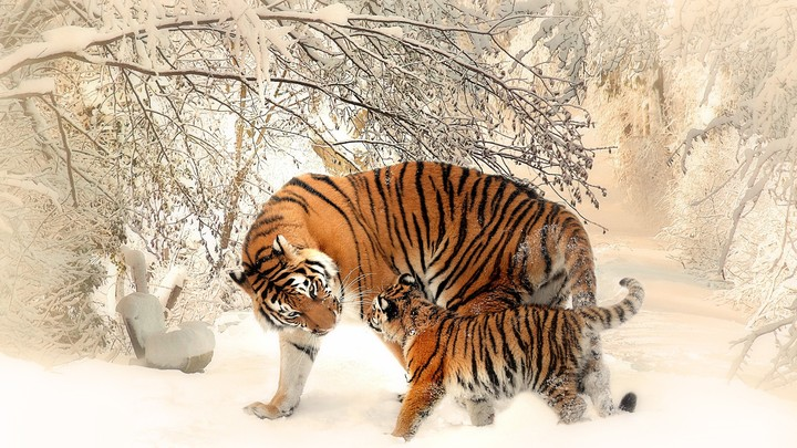 Tiger moom And Baby