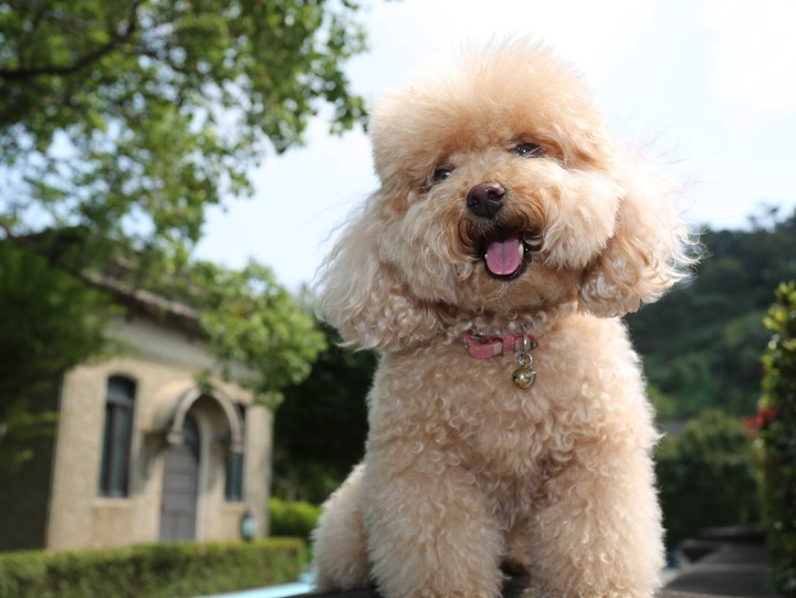 Toy Poodle, Dog, Puppy, Pet