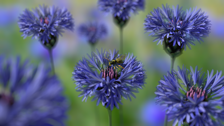 Wasp On Cornflower