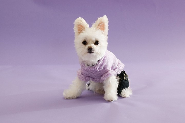 White Dog In Clothes Funny purple background