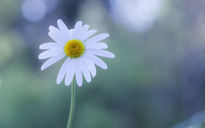 White Flower Chamomile