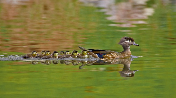 A female wood duck and ducklings in Arapahoe County, Colorado