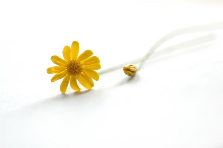 yellow, daisy, white background